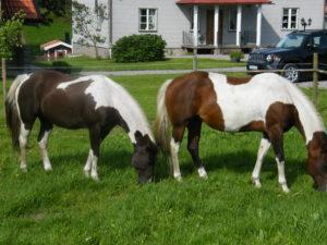 ridledshästar i övernattningshagen (1)